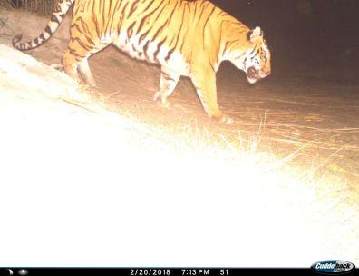 Tigress F03
